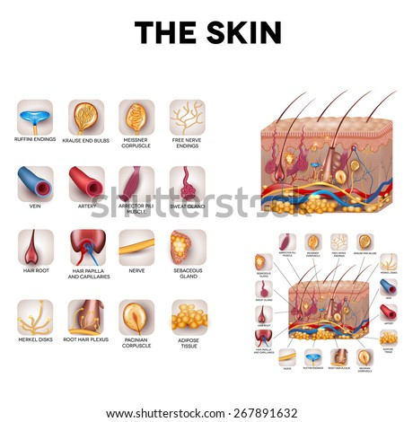 The skin and skin structure components, detailed illustration. Skin sensory receptors, vessels, hair, muscle, etc. Beautiful bright colors. - stock vector
