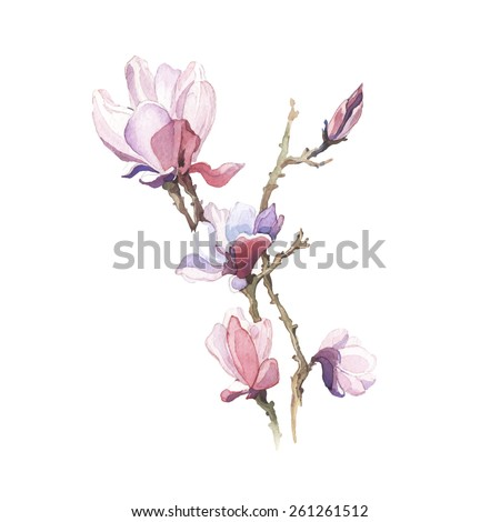 The spring  magnolia  watercolor flower isolated on the white background