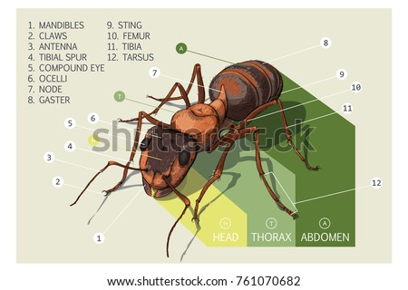 Structure ant vector diagram stock vector 761070682 shutterstock vector diagram ccuart Choice Image
