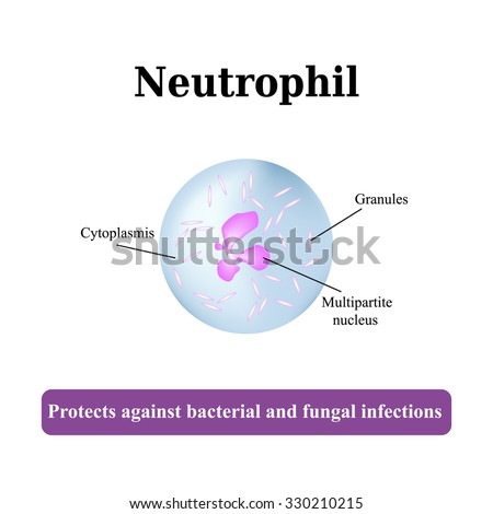 Structure    Neutrophil    Vector Illustration Stock Vector 330210215  Shutterstock