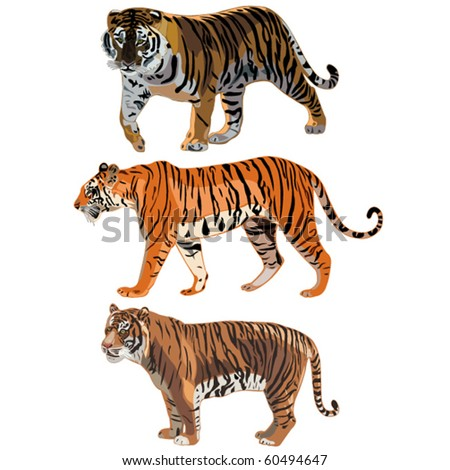 The three tigers in the world , Siberian Tiger,Sumatran Tiger, Bengal tiger