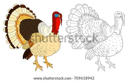 Turkey Coloring Book Example Bird Vector Stock Vector 709618942 ...