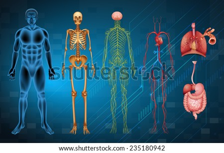 The various human body systems and organs - stock vector
