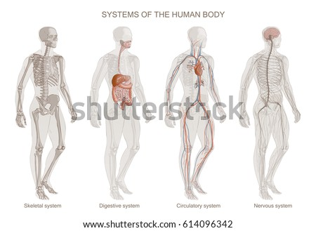 Digestion Stock Images, Royalty-Free Images & Vectors | Shutterstock