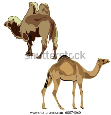 The world's two camels, dromedary and Bactrian camel. - stock vector
