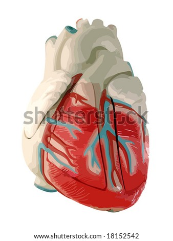 This is a medical (anatomically correct) model of the human heart, showing the ventricles and major vessels (aorta, other veins and arteries). VECTOR. - stock vector