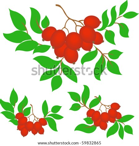 three rowan branches on a white background