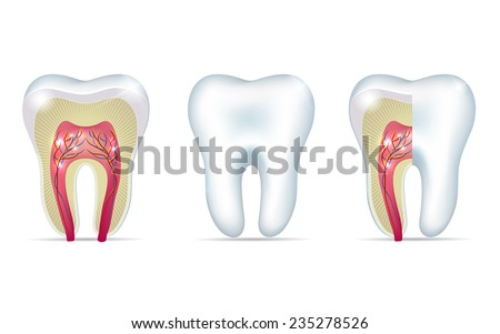 Three tooth anatomy illustrations on a white background - stock vector