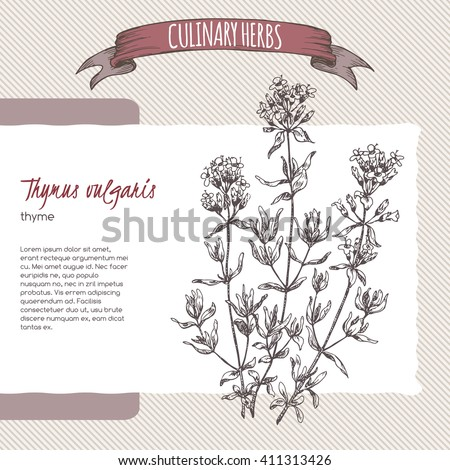 Thymus vulgaris aka Thyme vector hand drawn sketch. Culinary herbs collection. Great for cooking, medical, gardening design. - stock vector