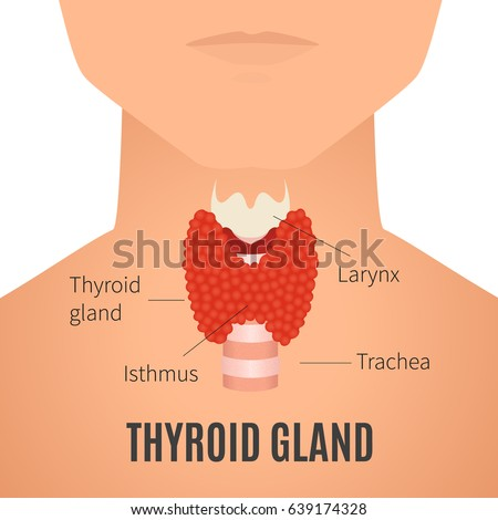 Thyroid gland diagram thyroid gland trachea stock vector 639174328 thyroid gland diagram thyroid gland and trachea shown on a silhouette of a man ccuart Image collections