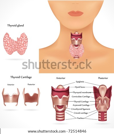 Thyroid gland, epiglottis, trachea. Detailed anatomy. - stock vector