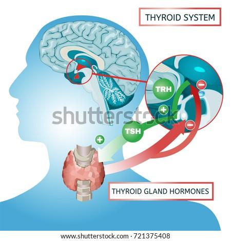 Thyroid System Vector Illustration Medical Anatomy Stock Vector