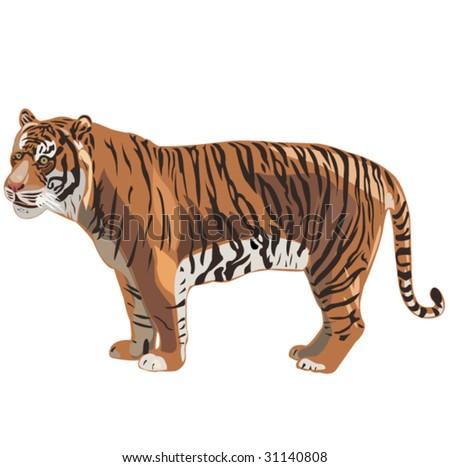 Tiger Series _ Sumatran Tiger - stock vector