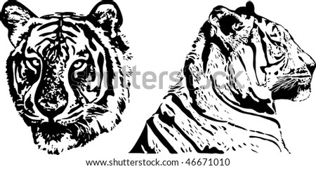 tiger - vector draw - stock vector