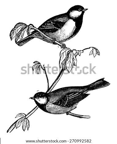 Tit or Chickadees or Titmice, vintage engraved illustration. Natural History of Animals, 1880. - stock vector