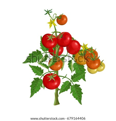 Tomato plant stock images royalty free images vectors tomato bush with fruits and flowers vector illustration ccuart
