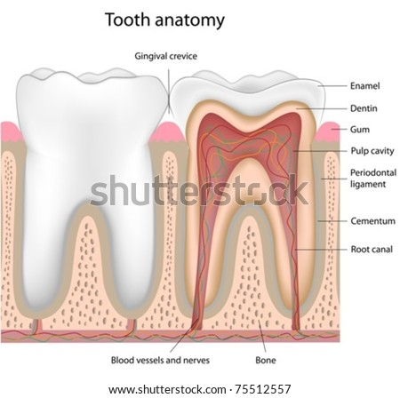 Tooth anatomy - stock vector
