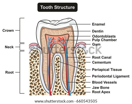 Tooth Cross Section Anatomy All Parts Stock Vector 660543505 ...