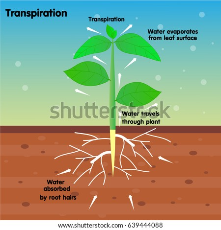 transpiration essay Did you know that plants 'sweat' transpiration is both an important and costly process for plants, and it requires that a delicate balance between.
