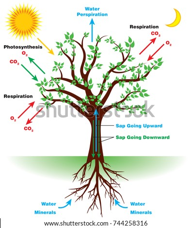 Photosynthesis Diagram Stock Images Royalty Free Images