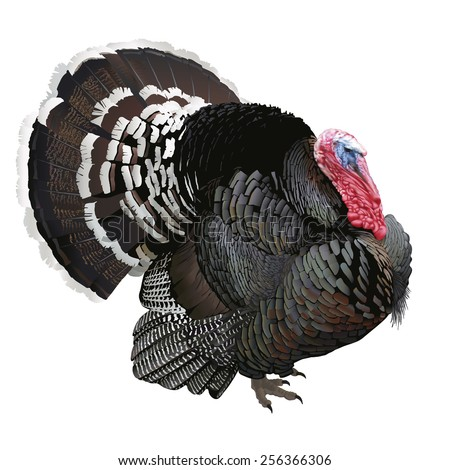 Turkey. Hand drawn vector illustration of a wooing male turkey showing off its beautiful glossy plumage.White background, highly detailed realistic representation. - stock vector