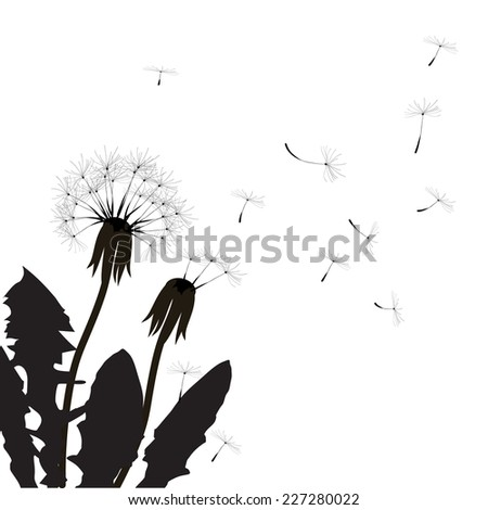 two dandelions, shadows, black and white