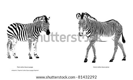 Two Different Zebra Species - stock vector