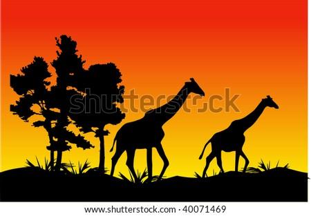 Two giraffes walk on a decline - stock vector