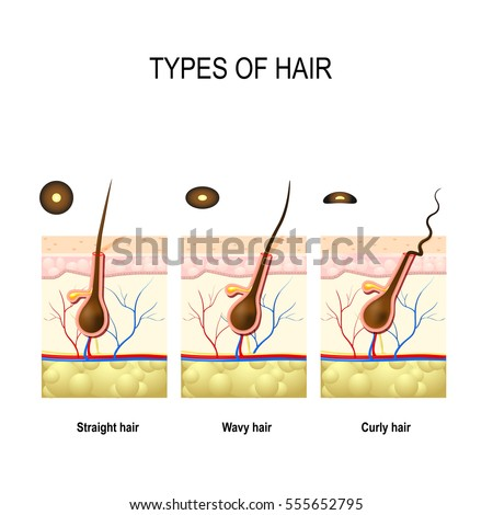 Types Hair Straight Wavy Kinky Cross Stock Vector