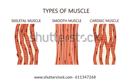 Types Muscle Stock Vector Hd Royalty Free 611347268 Shutterstock