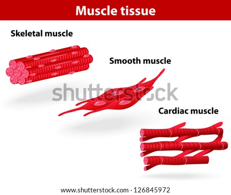 Types of muscle tissue. Skeletal muscle, smooth muscle, cardiac muscle. Vector scheme - stock vector