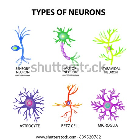 Types neurons structure sensory motor neuron stock vector types of neurons structure sensory motor neuron astrocyte pyromidal betz cell ccuart Images