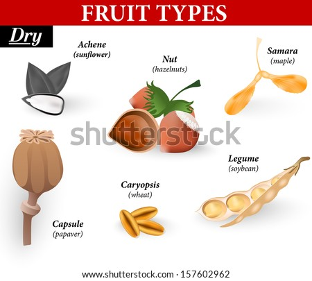 Types of simple fruit are dry.  Dry fruits at maturity are made up of dead cells and are divided into those that split open and those that do not.  - stock vector