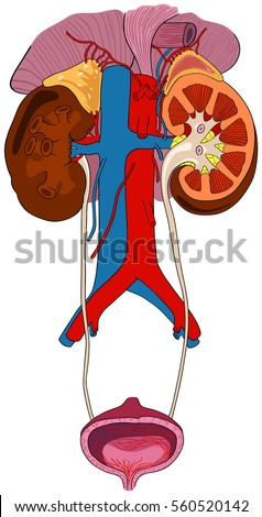 Urinary renal system human body anatomy stock photo photo vector urinary renal system of human body anatomy with all parts including adrenal glands artery and vein ccuart Choice Image