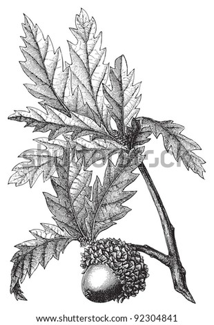 Valonia oak (Quercus Aegilops) / vintage illustration from Meyers Konversations-Lexikon 1897 - stock vector