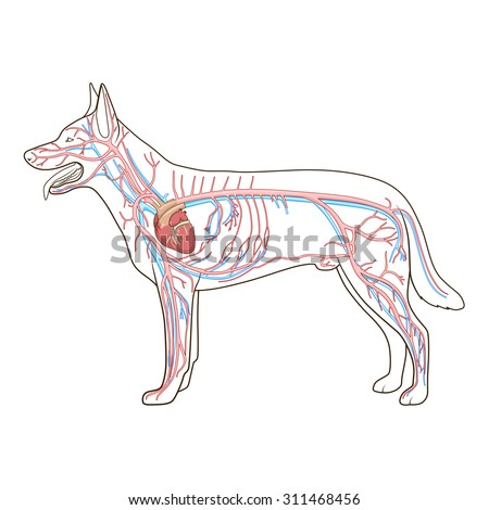 Dog circulatory system dog circulatory system photo16 ccuart Choice Image