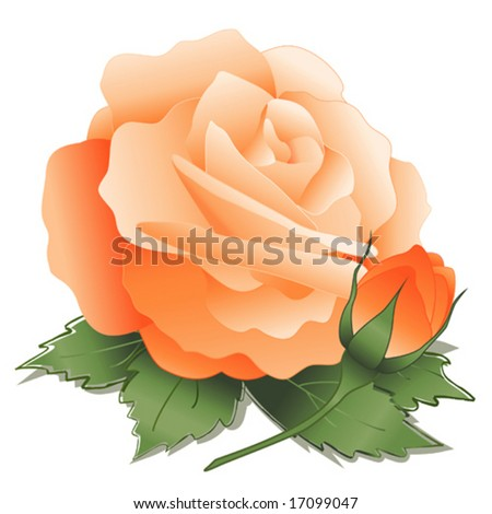 vector - Apricot Rose and Bud. Old fashioned pastel heritage bloom isolated on white background. EPS8 organized in groups for easy editing. - stock vector