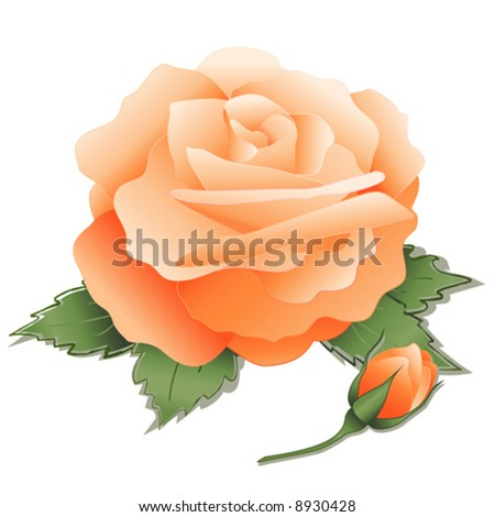 vector, Apricot Rose, leaves, old fashioned pastel heritage bloom on white background. EPS8 organized in groups for easy editing. - stock vector