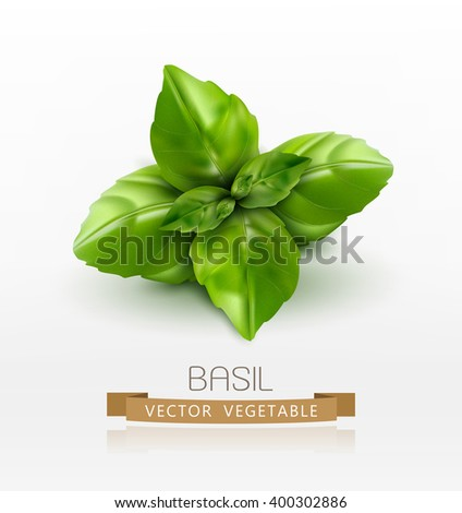 Vector basil leaves isolated on white background - stock vector