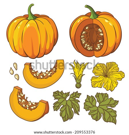 Vector botanical set with isolated  pumpkins, flowers and leaves - stock vector