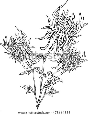 vector bouquet of chrysanthemums / hand drawing black and white gerberas