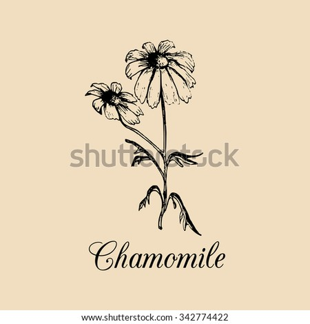 Vector chamomile leaves and flower illustration. Hand drawn camomile branch sketch. Daisy family officinale, medicinal, cosmetic herb logo. Daisy wheel background.  - stock vector