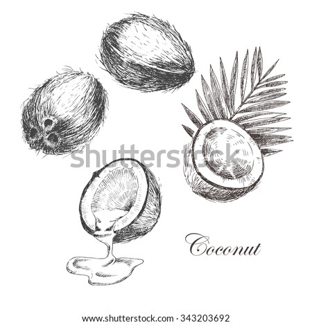 vector coconut hand drawn sketch with palm leaf. vintage style detailed ink and pencil illustration