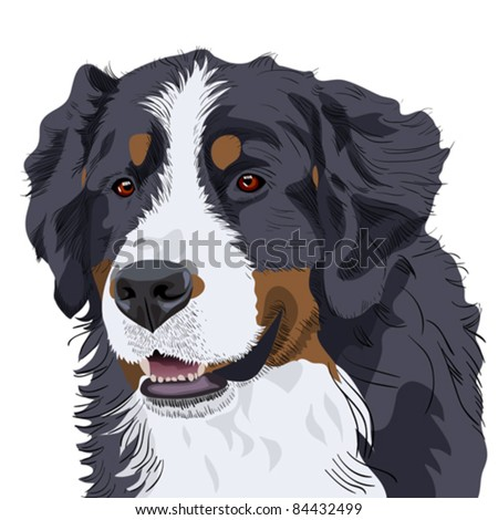 vector color sketch of a close-up dog breed Bernese Mountain Dog - stock vector