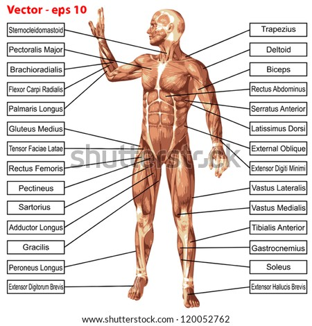 Male muscle tendon anatomy diagram electrical work wiring diagram vector concept conceptual 3 d human anatomy stock vector 120052762 rh shutterstock com male body muscle chart male reproductive anatomy diagram ccuart Image collections