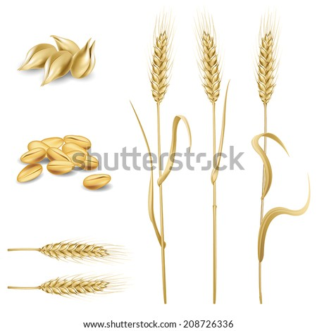 Vector design elements set. Collection of wheat and rye ears and corns.  - stock vector