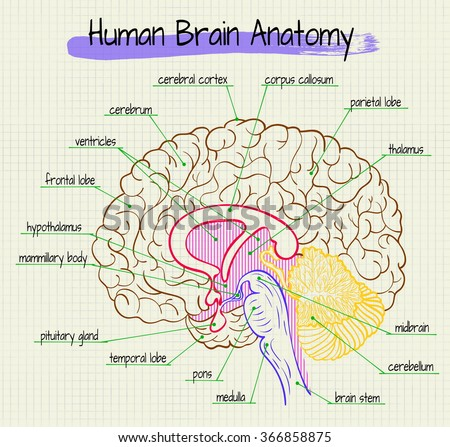 Vector diagram anatomy human brain side stock photo photo vector vector diagram anatomy human brain side stock photo photo vector illustration 366858875 shutterstock ccuart Images