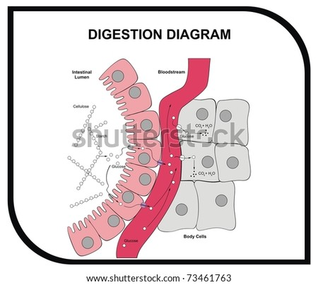 VECTOR - Digestion Diagram - Abdominal Tissue - Medical and Educational - stock vector