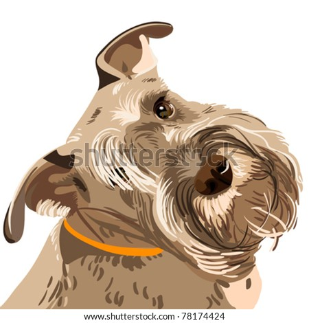 vector dog breed bearded Miniature Schnauzer color of pepper and salt closeup - stock vector