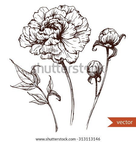 vector drawing , pen and ink drawing, peony flowers, isolated monochrome image, vintage, retro engraving